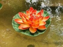 orange lotus flower